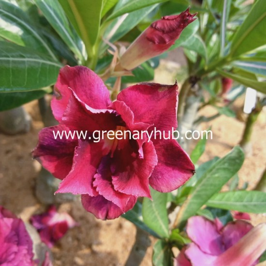 Buy 3 Adenium or Desert Rose Multi Petal Grafted Plant Rosy Variety (any Colour)