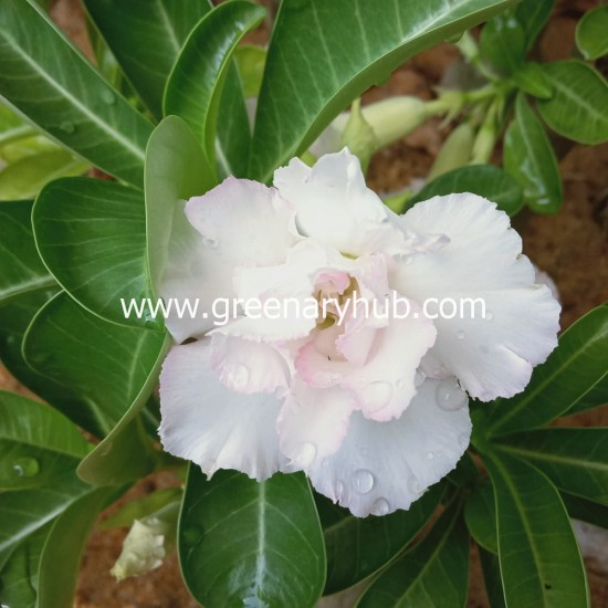 Buy 5 Adenium or Desert Rose Multi Petal Grafted Plant Rosy Variety (Any Colour)