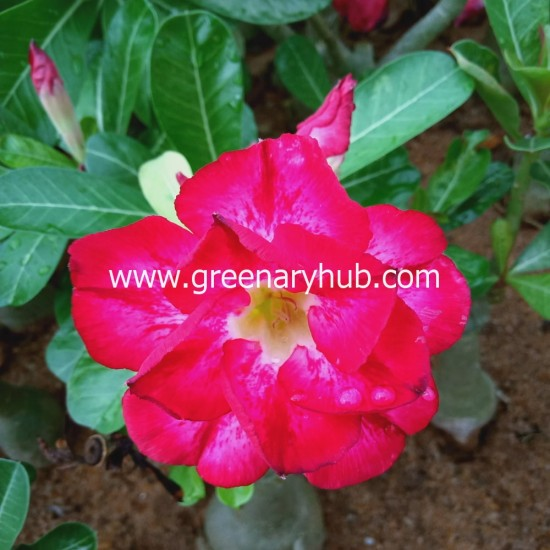 Buy 8 Adenium or Desert Rose Multi Petal Grafted Plant Rosy Variety (Any Colour)