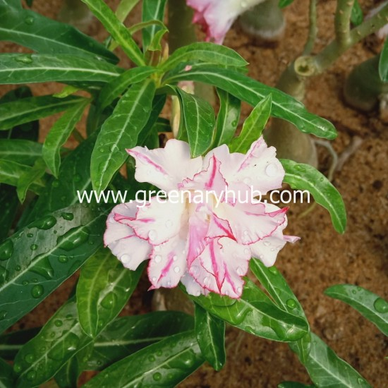 Buy 12 Adenium or Desert Rose Multi Petal Grafted Plant Rosy Variety (Any Colour)