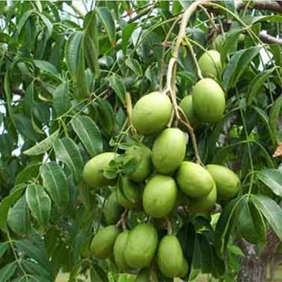 Sweet Hog Plum or Amra Fruit Live Plant