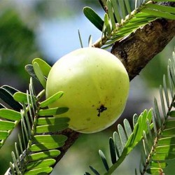Amla | Indian Gooseberry Fruit Plant