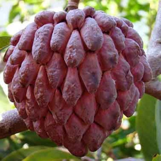 Red Sugar Apple | Sitafal | Ata Grafted Live Plant