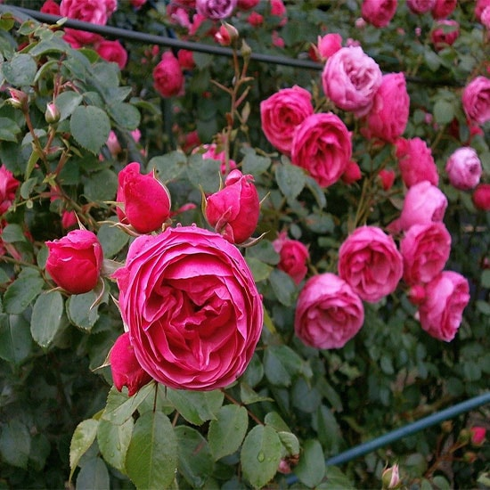 Rose Plant (Pink Small)