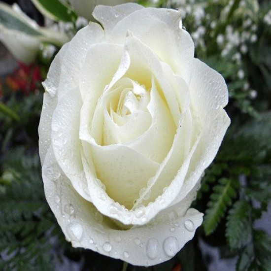 Rose Plant (White & Scented)